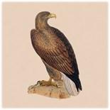 Eagle Lover