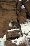Small Snow Leopard